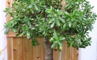 Как правильно формировать толстянку в дерево?