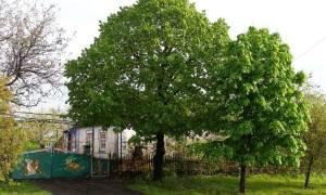 Как обрезать каштан дерево?