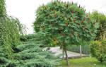 Как сажать уксусное дерево?