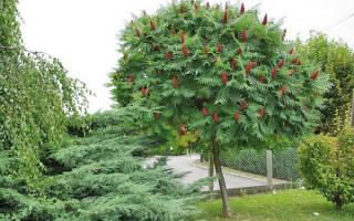 Как посадить уксусное дерево?