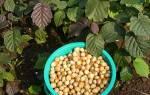 Какие орехи посадить на даче?