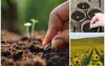 Как вырастить подсолнух из семечки на даче?