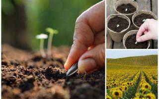Как посадить подсолнухи из семечек на даче?