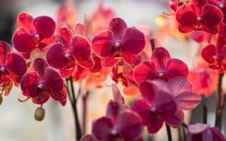 Красная орхидея фаленопсис