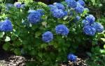 Гортензия голубая никко блю посадка и уход