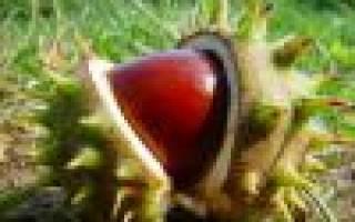 Как вырастить из ореха каштана дерево?