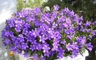 Кампанелла комнатный цветок