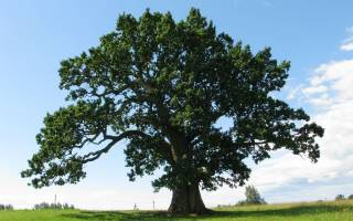 Можно ли из желудя вырастить дерево?