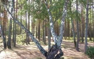 Редкие породы деревьев России