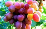 Агротехника выращивания винограда в средней полосе
