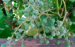 Оидиум винограда – меры борьбы c мучнистой росой