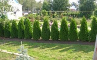 Как выращивать тую на даче?