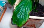 Спатифиллум чернеют листья по краям что делать