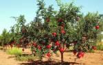 Где в России растут гранатовые деревья?