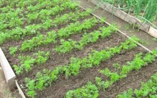 Сорта моркови для выращивания в средней полосе