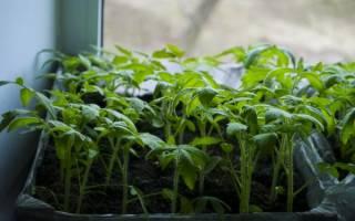 Рассада томатов в домашних условиях – все тонкости выращивания