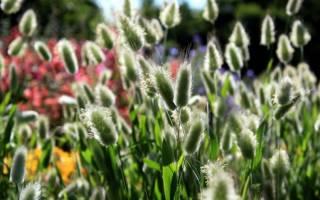 Какие сухоцветы можно вырастить на даче?
