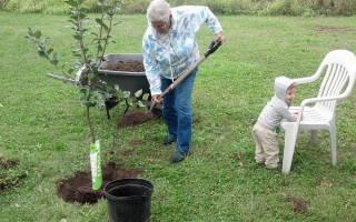 Подкормка яблони весной – помогаем деревьям вырастить богатый урожай