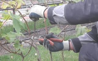 Сроки обрезки винограда осенью в средней полосе