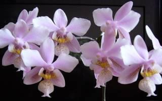 Орхидея филадельфия имеет ли запах
