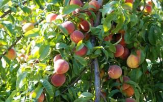 Как обрезать персиковое дерево?