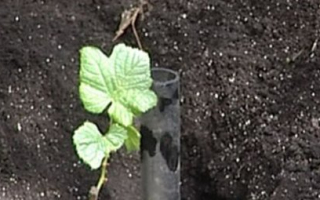 Время посадки винограда осенью саженцами