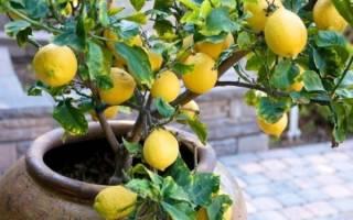 Как из семечки лимона вырастить дерево?