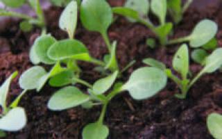 Почему плохо растёт рассада петунии: быстрая помощь