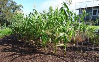 Какую кукурузу посадить на даче?