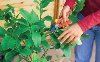 Как подрезать лимонное дерево?