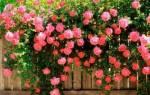 Посадка плетистых роз осенью в средней полосе