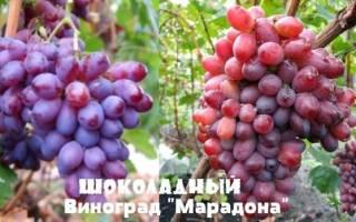 Виноград Марадона – сладкие ягоды в любую погоду