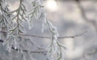 Как укрыть тую на зиму – учимся вместе!