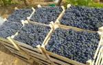 Когда убирать виноград в средней полосе России?