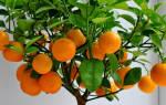 Как вырастить цитрусовое дерево?