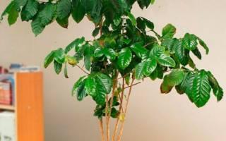 Как правильно посадить кофейное дерево?