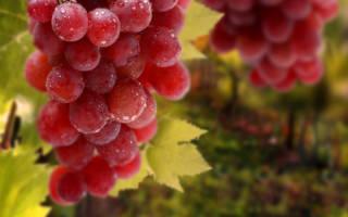 Самый крупный виноград в России