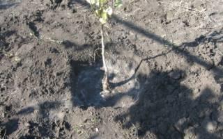 Сроки посадки груши осенью в средней полосе