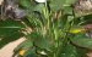 Спатифиллум желтеют листья причина