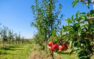 Как формировать крону у саженцев яблони?