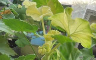 Болезни пеларгонии – что тревожит этот разноцветный декоративный цветок?