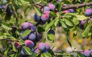 Как правильно посадить саженец сливы осенью?