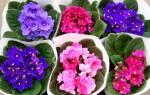 Болезни комнатных фиалок – как спасти нежные цветы?