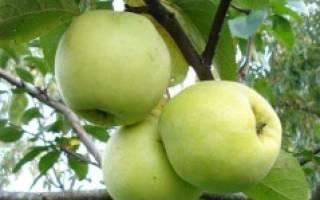 Иммунные сорта яблонь для средней полосы