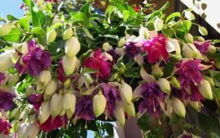 Цветы ампельные комнатные