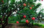 Как правильно обрезать гранатовое дерево?