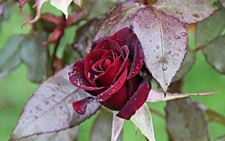 Посадка роз осенью в средней полосе