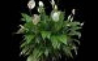 Как заставить цвести спатифиллум хитрости