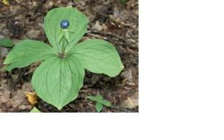 Самые ядовитые растения в мире: цветик-семицветик лучше не трогать