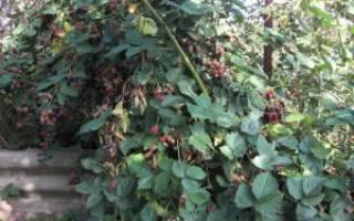 Ежевика садовая сорта для средней полосы